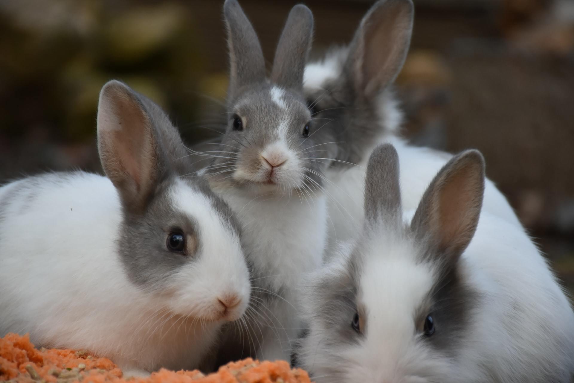 pregnant rabbit care