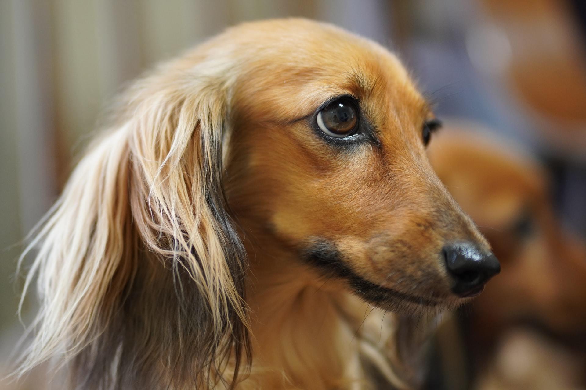 Progressive retinal atrophy dog