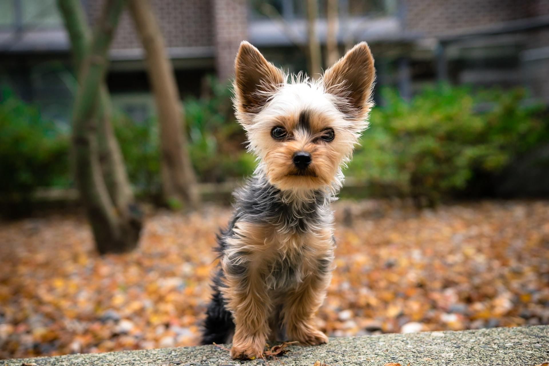 puppy low blood sugar