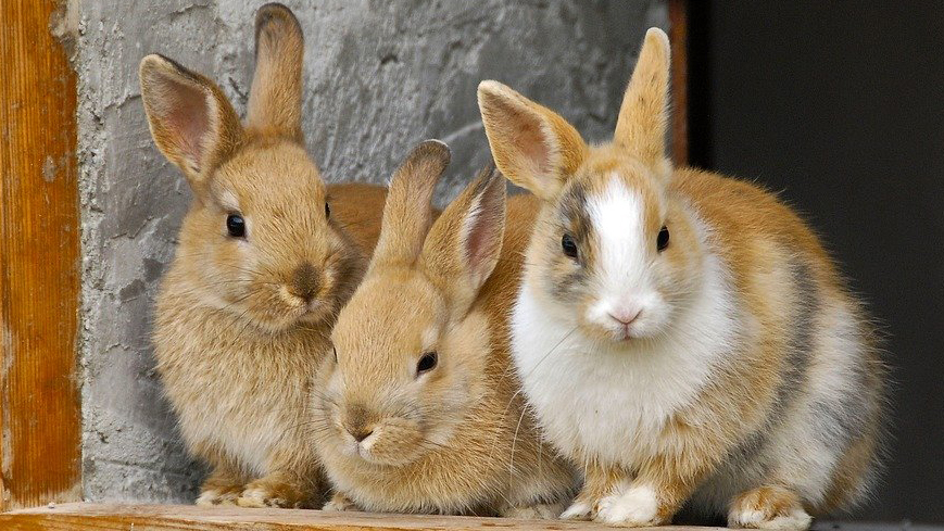 Rabbits in group