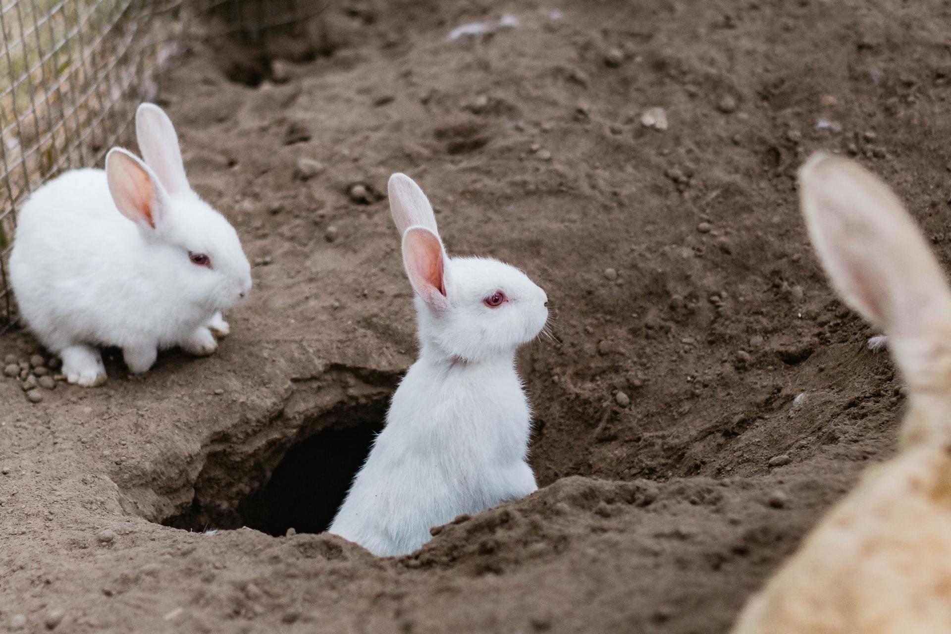 rabbit myxomatosis