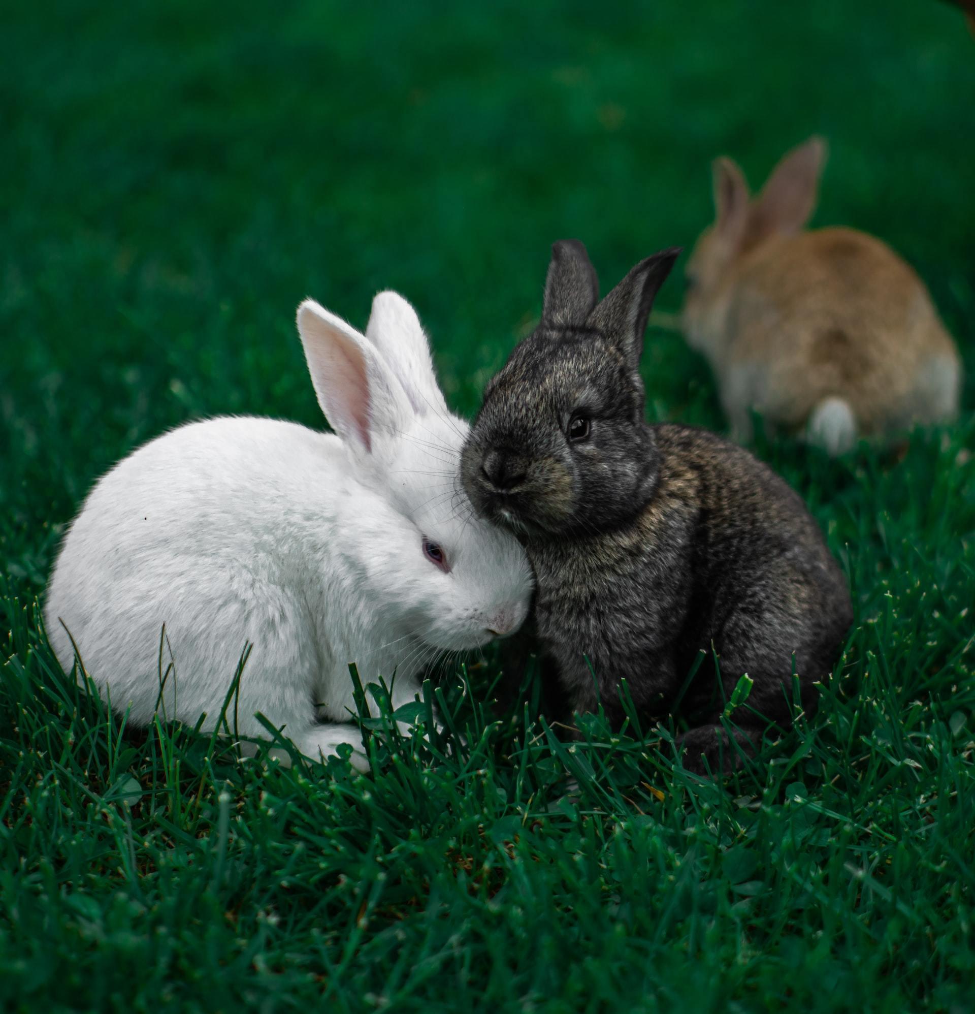 rabbit skin infection