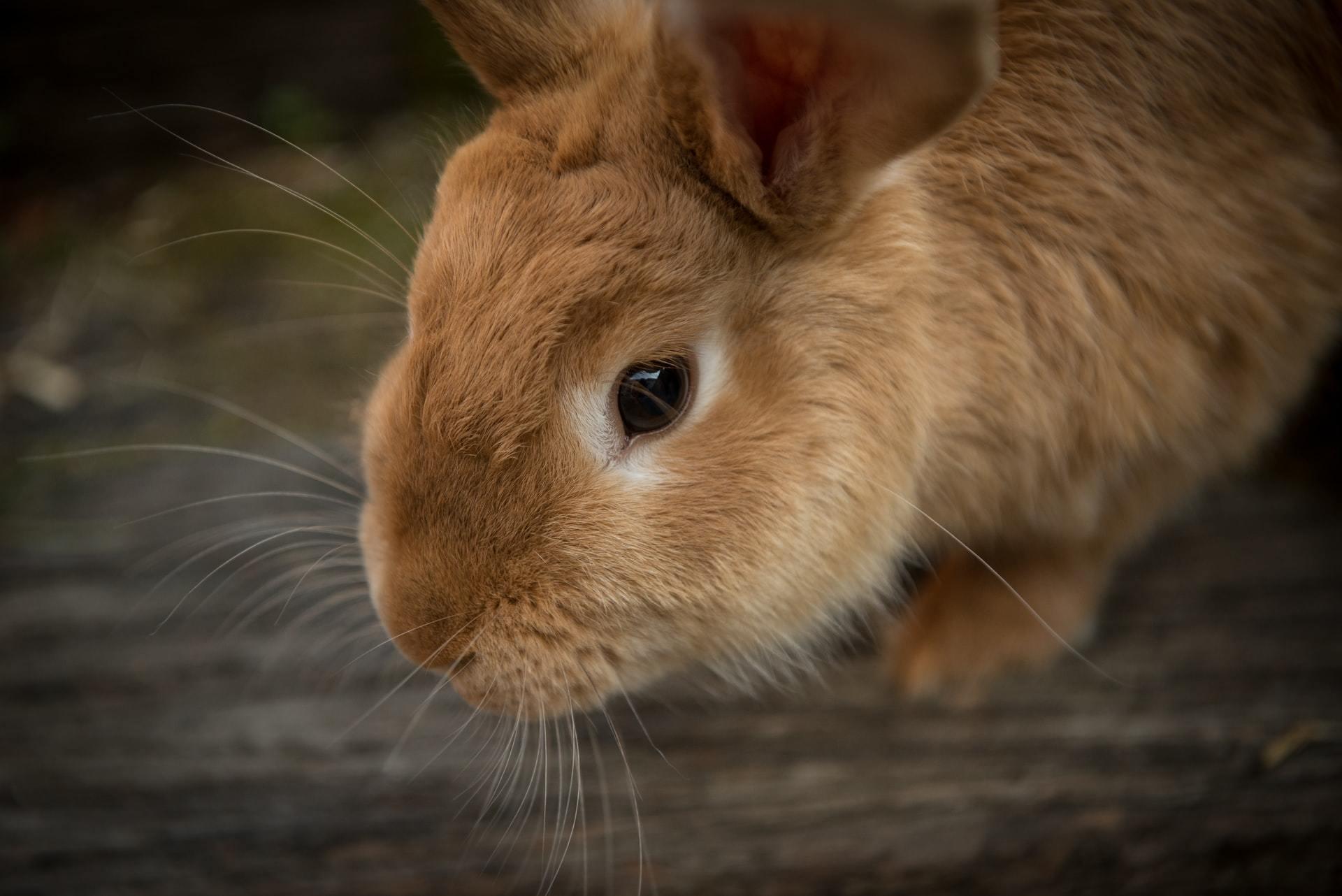 rabbit teeth care