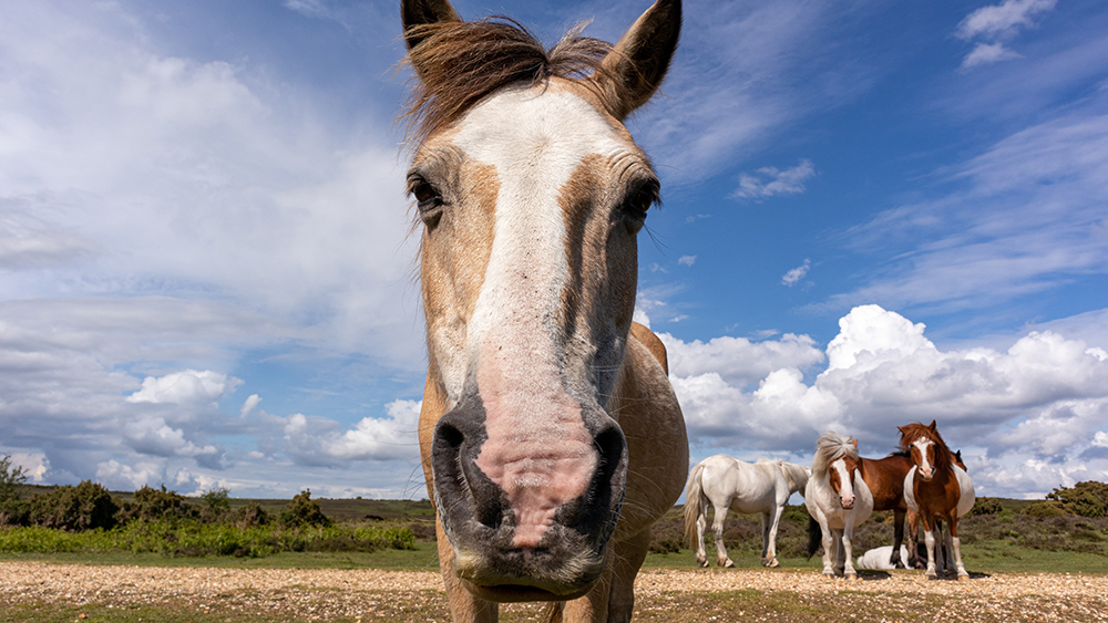 Ringorm häst
