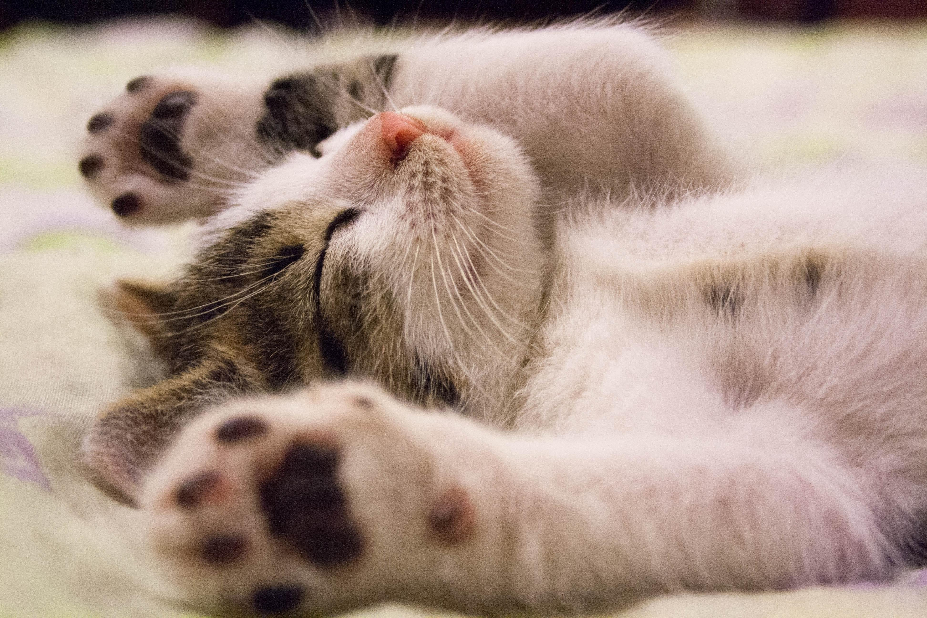 Ringworm symptoms and treatments in cats