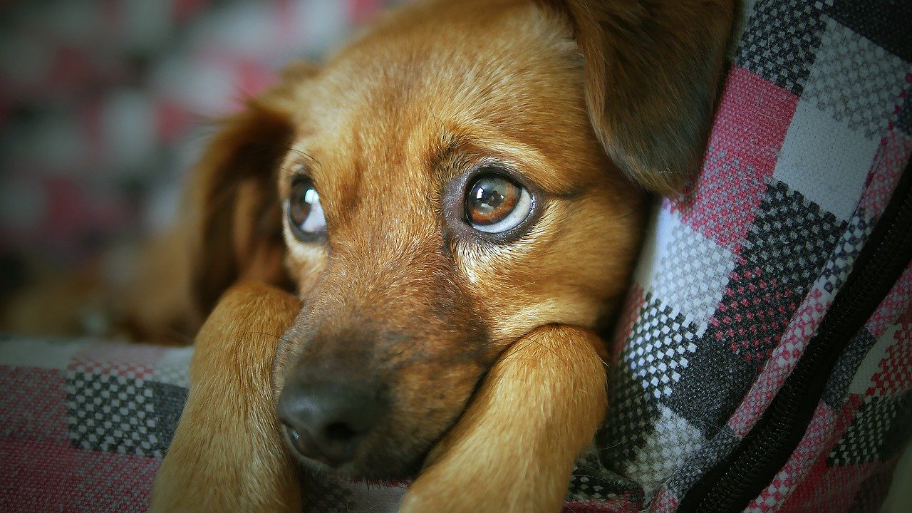 Scared puppy, fireworks training for dogs