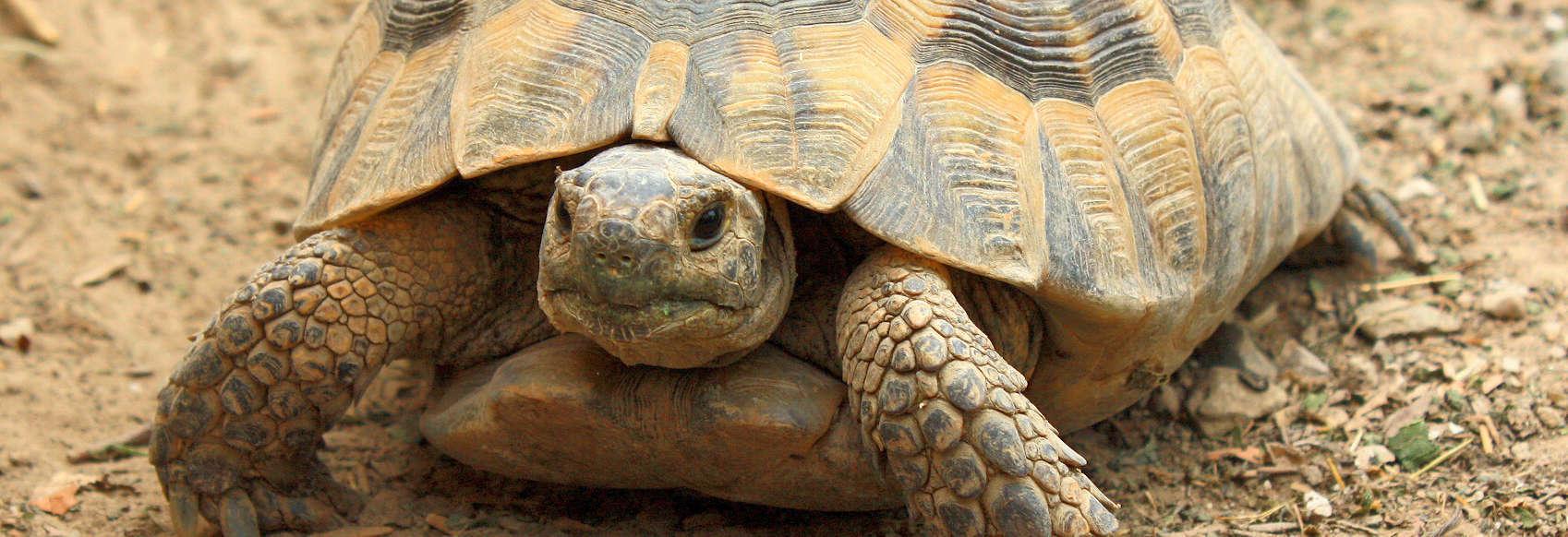 Maurische Landschildkröte8